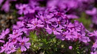 bright purple bloom of spring flowers