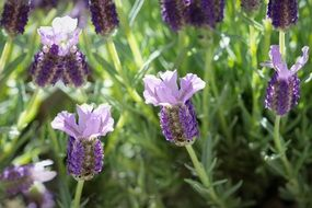 French lavender in bloom