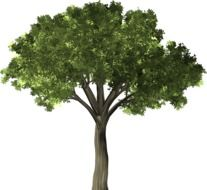 green elm tree on a white background