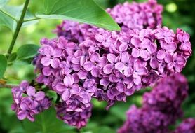 Lilac Spring Summer Plant