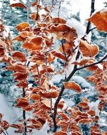 autumn foliage in frost close up