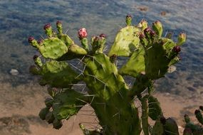 blooming prickly pear by the sea