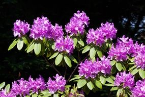 purple rhododendron flowers in summer