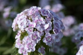 white purple carnation flowers