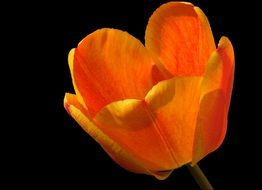 Orange tulip flower in the spring