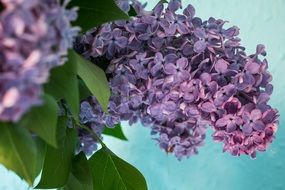 Lilac Syringa Bush Purple branch