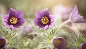 Purple pasque flower
