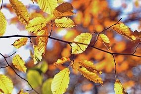 golden yellow autumn foliage