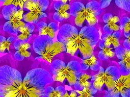 colorful Pansy flowers, background