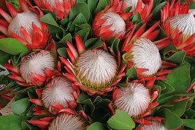 protea flowers with green leaves