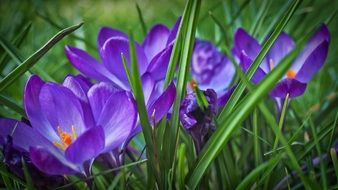 purple crocuses among green grass