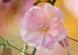 pale pink flower of japanese cherry close-up