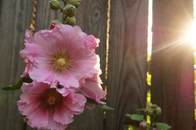 Pink mallow flowers under the sun