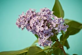 purple Lilac Syringa green Bush