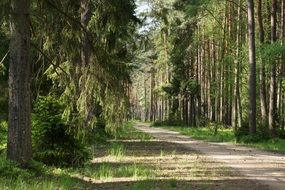 road among dense pine forest