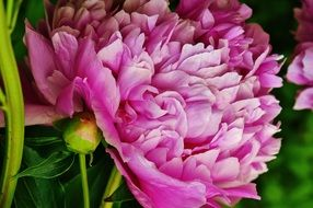 lush pink peonies close-up