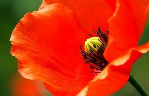 incomparable Poppy Blossom