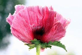 pink Poppy Flower closeup