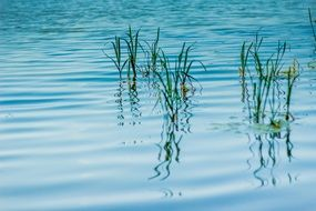 green reed mirroring on blue water