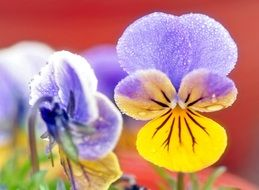 yellow-blue pansies in drops of water close-up