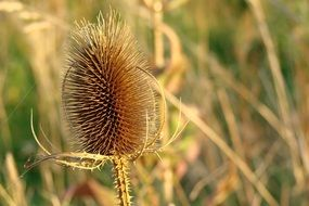 dry field thistle