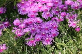small purple pointed flowers