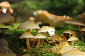 Toxic mushrooms in a forest