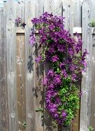 Growing purple flowers on a wooden fence