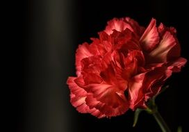 red lush carnation on a black background