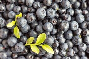 A lot of the fresh blueberries in summer