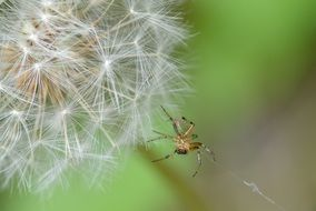 spider on a dandelion closeup