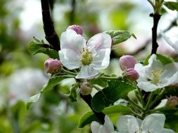 flowering apple tree in the spring garden