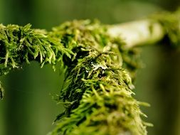 green moss on a tree branch in a forest in a marshland at blurred background