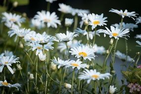 daisies in a flowering garden in summer