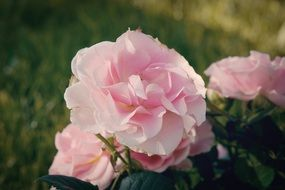 Pink fluffy Roses in garden at evening