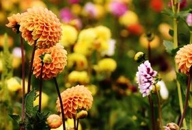 colorful autumn dahlias on a blurred background