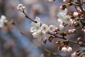 white cherry blossom close up