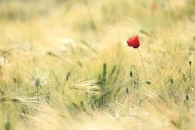 red poppy on a green cereal field
