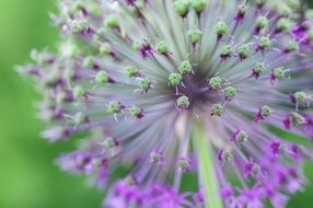 onion bloom close up