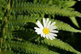 white daisy and fern