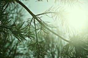 Sunshine on the conifer