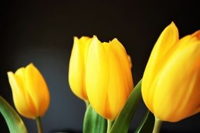 bright yellow tulips on a black background