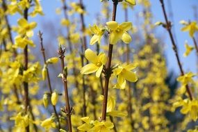 delightful beauty Forsythia Sepals