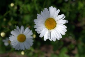 most beautiful Daisies White Flower
