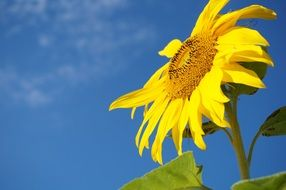 blooming sunflower against the blue sky