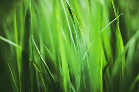fresh bright green summer grass close-up on blurred background