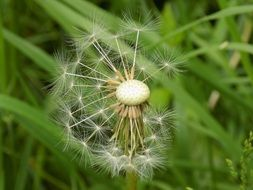 Seeds of the white dandelion in spring