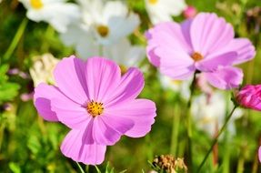 pink and white flowers in a flower meadow