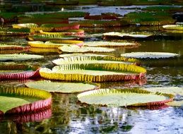 green leaves of a water lily on a pond