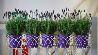 lavender, Potted Plants on stand indoor